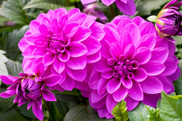 Beautiful Purple dahlia fresh flower blossoming in the garden