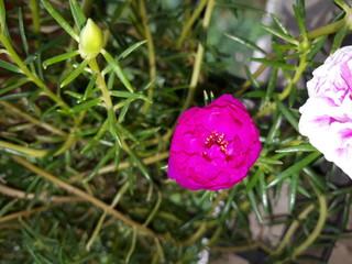 Moss Rose also called as Portulaca grandiflora, Indian table rose, 9 o'clock flower, rose moss, ten o'clock, Mexican rose, sun rose, rock rose