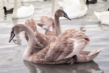 two young swans with broun feathers dancing in the lake