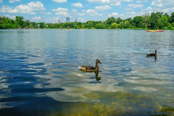 Ducks on a lake in summer with downtown Minneapolis in background