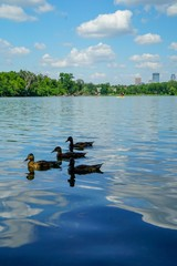 Four ducks swimming in lake and Minneapolis downtown in background