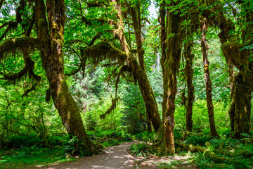 Path in the Hoh Rainforest (Olympic National Park). Washington State, USA