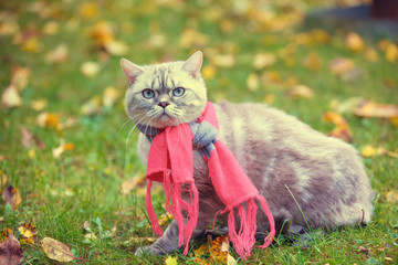 Autumn portrait of the little kitten wearing the pink-gray knitted scarf. Cat sitting outdoors on fallen yellow leaves in a garden