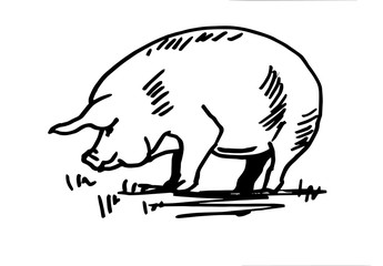 Domestic pig. Line drawing