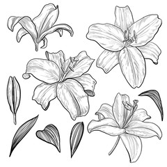 Lily flowers and leaves, hand drawn monochrome etching botanical set isolated on white background. Vintage vector illustration.