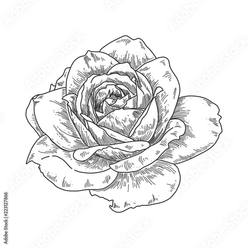 Hand Drawn Engraving Rose Flower Isolated On White Background Pen