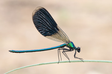 Libellula Calopteryx virgo