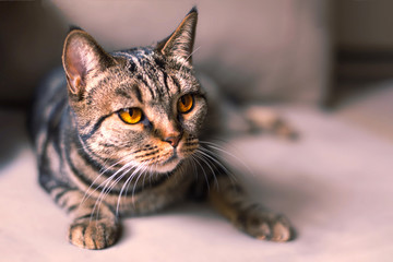 British Short hair cat with bright yellow eyes sitting on the blurred sofa. Tebby color, indoors, light