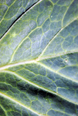 Cabbage green leaf natural organic texture background, top view close up detail