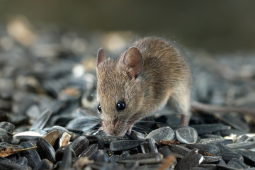 Closeup young  vole mouse digs a hole into pile of sunflower seeds in warehouse. Concept of fighting with rodents.