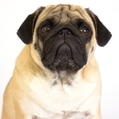 A sitting pug dog looking sad. Isolated.