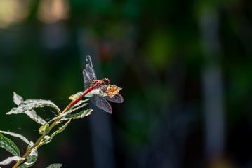 Libellule rouge dans le jardin posée sur une feuille