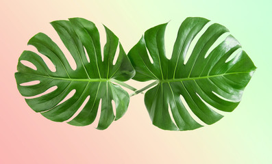 Monstera leaves exotic plant VIntage toned trendy colors