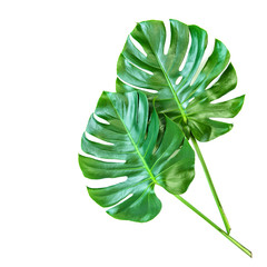 Monstera leaves white background Tropical exotic plant