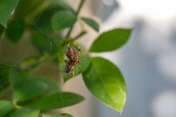 Araignée enveloppant sa proie de sa toile une abeille pris au piège
