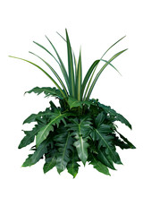 Green leaves tropical foliage plant bush of philodendron, dracaena and fern floral arrangment nature backdrop isolated on white background, clipping path included.