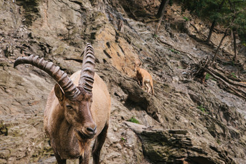 A close-up of a Caucasian mountain goat with huge horns in a natural habitat in the mountains. Wild animal.