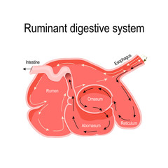 cross-section of the ruminant stomach