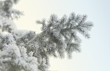 Snow-cowered fir branches. Winter blur background. Frost tree.