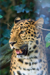 Close up portrait of the critically endangered Amur leopard (Panthera pardus orientalis),  native to southeastern Russia and northeast China