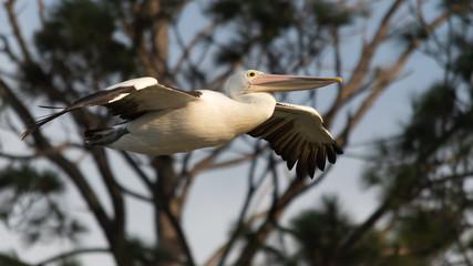 Pelican flying past
