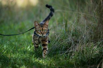 Bengal walking on Leash