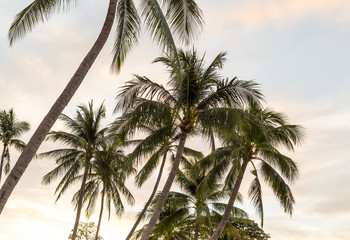 high coconut trees group of tropical trees on a background of a dawn sky covered with clouds background rest in exotic countries background design