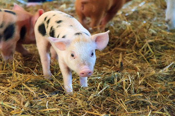 Very cute little newborn piggy pig (sus scrofa) in a petting zoo in the Netherlands