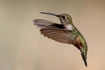 Kolibri im Flug