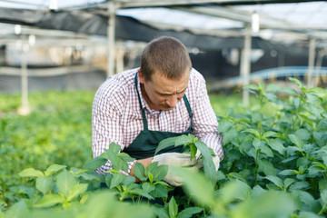 Male worker arranging  white jute herbs while gardening in greenhouse