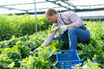 Fototapeta Male  horticulturist picking  Malabar spinach in  greenhouse indoor obraz