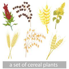 a set of different grain crops. Amaranth, kinoa, barley, buckwheat, wheat, oats, rye