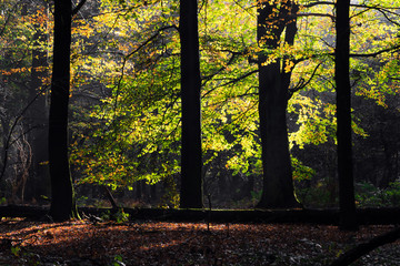 Beautiful light on the vibrant leaves in autumn in the forest in the Netherlands with dark contrast silhouette tree trunks