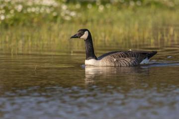 Oie Bernache du Canada - Branta canadensis - Canada Goose