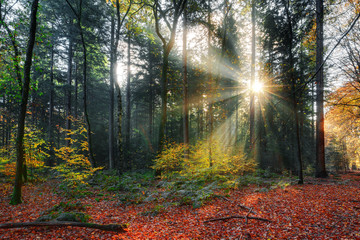 Beautiful morning sunrise in autumn in the Speulder forest in the Netherlands with vibrant colored leaves
