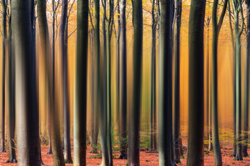 Abstract view of the vertical lines of the trees in a beautiful vibrant autumn forest in the Netherlands