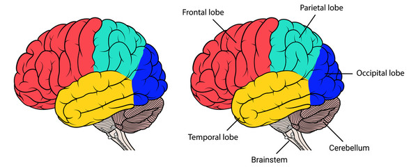 Sections of human brain anatomy side view flat