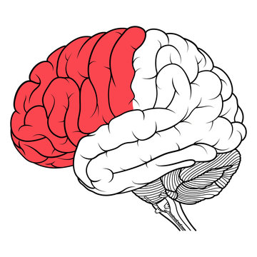 Frontal lobe of human brain anatomy side view flat