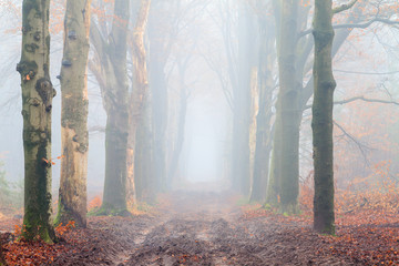 Beautiful mysterious lane in autumn in a forest in the Netherlands with morning fog and trees without leafs
