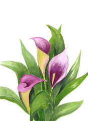Calla Lily isolated on white background. Watercolor illustration of bouquet. Purple flowers and green leaves. Botanical realistic art. For wedding invitations and holiday cards.