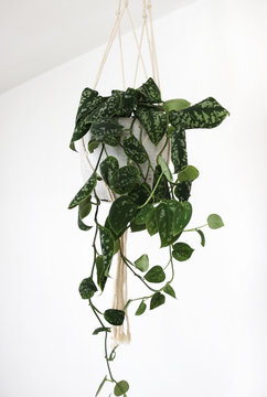 Close up of a Scindapsus plant, (also called Devil's ivy) in a trendy cement pot, hanging in a macrame plant hanger isolated on white background.