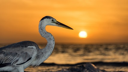 Heron on sunset background in Maldives.