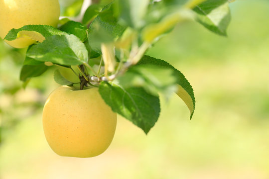 Ripe yellow apple on plantation against background of green foliage of apple trees.