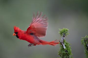 Santa Clara Cardinal