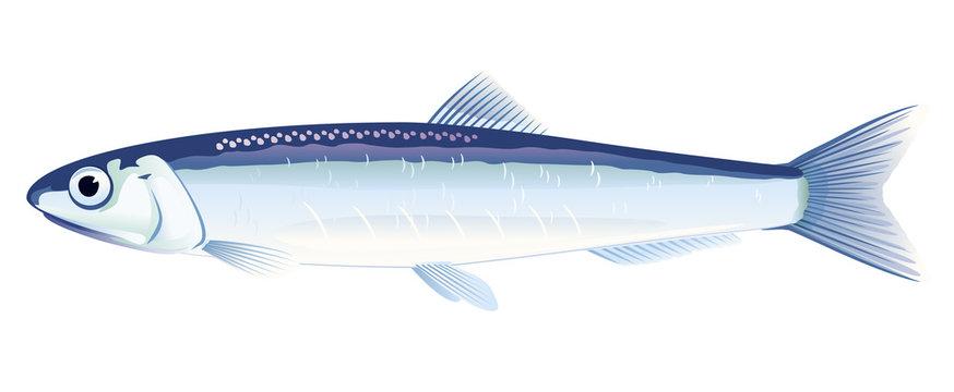 European Anchovy Fish