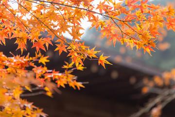 autumn maple leaf nature travel scene in fall season in Tokyo