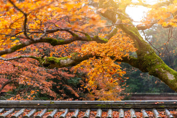 beautiful fall maple with shrine roof architecture Asian travel in autumn season.