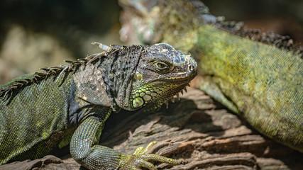Reptile Green Iguana