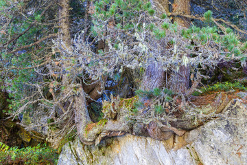 Old growth Pine tree