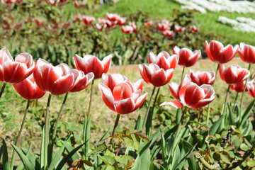 Tulips grow in a park in the nature
